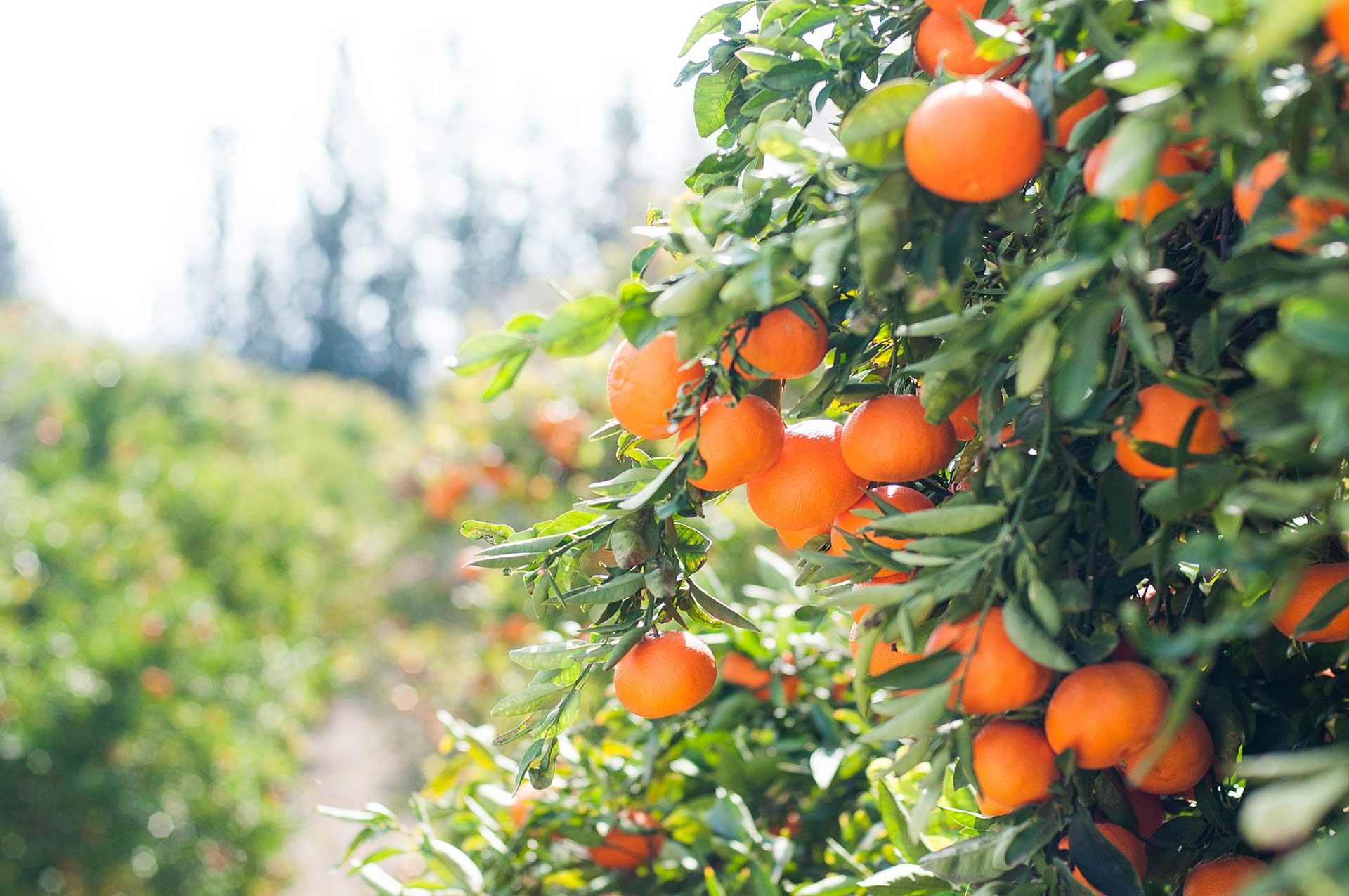 Orange Juice - Herges Capital Management